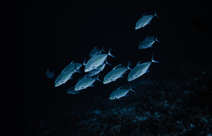 Bluefin Jack